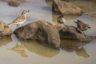 Kenya Rufous Sparrow - Passer rufocinctus