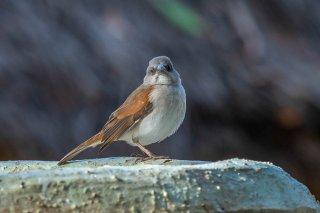 Northern Grey-headed Sparrow - Passer griseus