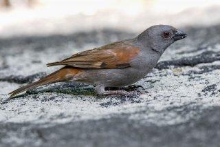 Parrot-billed Sparrow - Passer gongonensis