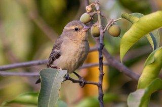 Plain-backed Sparrow (f) - Passer flaveolus