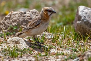 Rufous-necked Snowfinch - Pyrgilauda ruficollis
