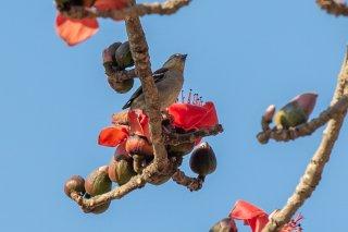 Russet Sparrow (f) - Passer cinnamomeus
