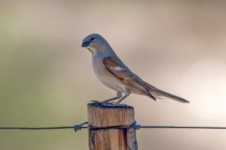 Southern Grey-headed Sparrow - Passer diffusus