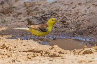 Sudan Golden Sparrow - Passer luteus