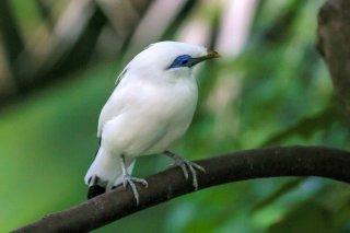 Bali Myna - Leucopsar rothschildi