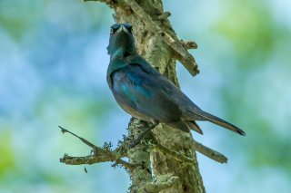 Black-bellied Starling - Notopholia corusca