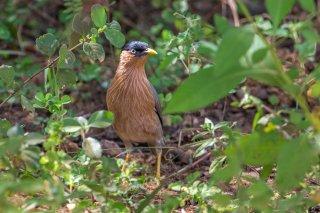 Brahminy Starling - Sturnia pagodarum