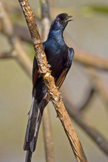 Bristle-crowned Starling - Onychognathus salvadorii