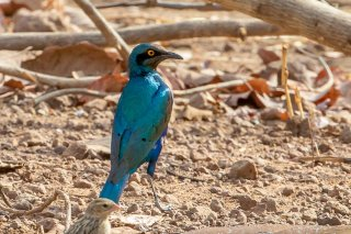 Bronze-tailed Starling - Lamprotornis chalcurus