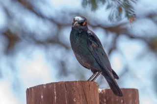 Cape Starling - Lamprotornis nitens