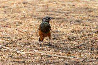 Chestnut-bellied Starling - Lamprotornis pulcher