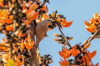 Chestnut-tailed Starling -Sturnia malabarica