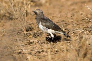 Fischer's Starling - Lamprotornis fischeri