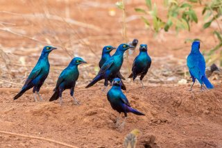 Greater Blue-eared Starling - Lamprotornis chalybaeus