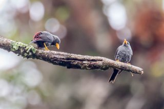 Grosbeak Starling - Scissirostrum dubium