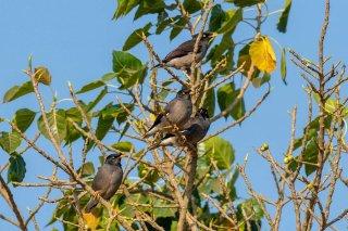 Jungle Myna - Acridotheres fuscus