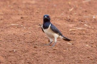 Magpie Starling - Speculipastor bicolor