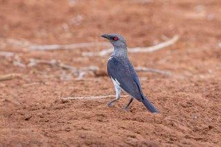 Magpie Starling (f) - Speculipastor bicolor