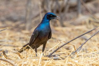 Meves's Starling - Lamprotornis mevesii