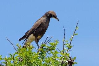 Pied Starling - Lamprotornis bicolor