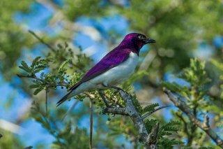 Violet-backed Starling - Cinnyricinclus leucogaster