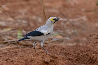 Wattled Starling - Creatophora cinerea