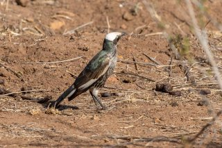 White-crowned Starling - Lamprotornis albicapillus