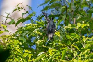 White-faced Starling - Sturnornis albofrontatus