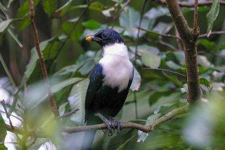 White-necked Myna - Streptocitta albicollis