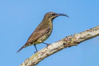 Amethyst Sunbird (f) - Chalcomitra amethystina