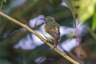 Black-throated Sunbird (f) - Aethopyga saturata