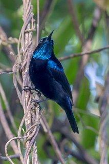 Black Sunbird - Leptocoma aspasia
