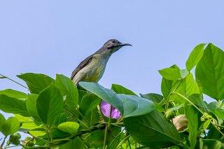 Black Sunbird (f) - Leptocoma aspasia