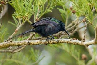 Bronzy Sunbird - Nectarinia kilimensis