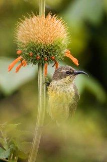 Bronzy Sunbird (f) - Nectarinia kilimensis