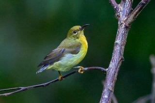 Brown-throated Sunbird (f) - Anthreptes malacensis