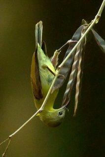 Crimson Sunbird (f) - Aethopyga siparaja