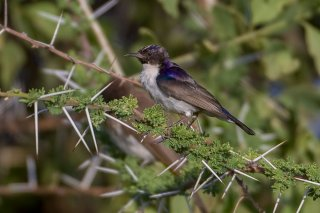 Eastern Violet-backed Sunbird - Anthreptes orientalis