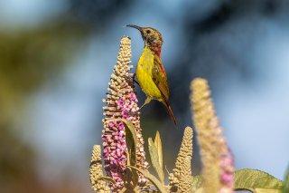 Fire-tailed Sunbird - Aethopyga ignicauda