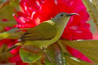 Green-tailed Sunbird (f) - Aethopyga nipalensis