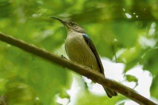 Grey Sunbird - Cyanomitra veroxii