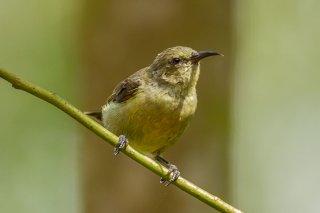 Little Green Sunbird - Anthreptes seimundi