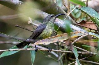Malagasy Green Sunbird (f) - Cinnyris notatus