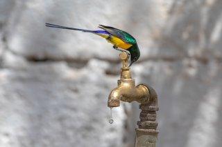 Nile Valley Sunbird - Hedydipna metallica