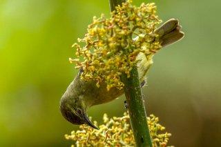 Olive-bellied Sunbird (f) - Cinnyris chloropygius
