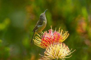 Orange-breasted Sunbird (f) - Anthobaphes violacea