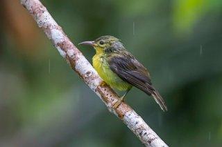Plain Sunbird - Anthreptes simplex