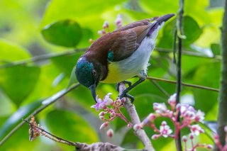 Purple-rumped Sunbird - Leptocoma zeylonica