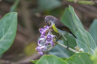 Purple-rumped Sunbird (f) - Leptocoma zeylonica