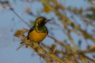 Pygmy Sunbird - Hedydipna platura